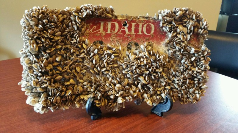 license plate covered with quagga mussels
